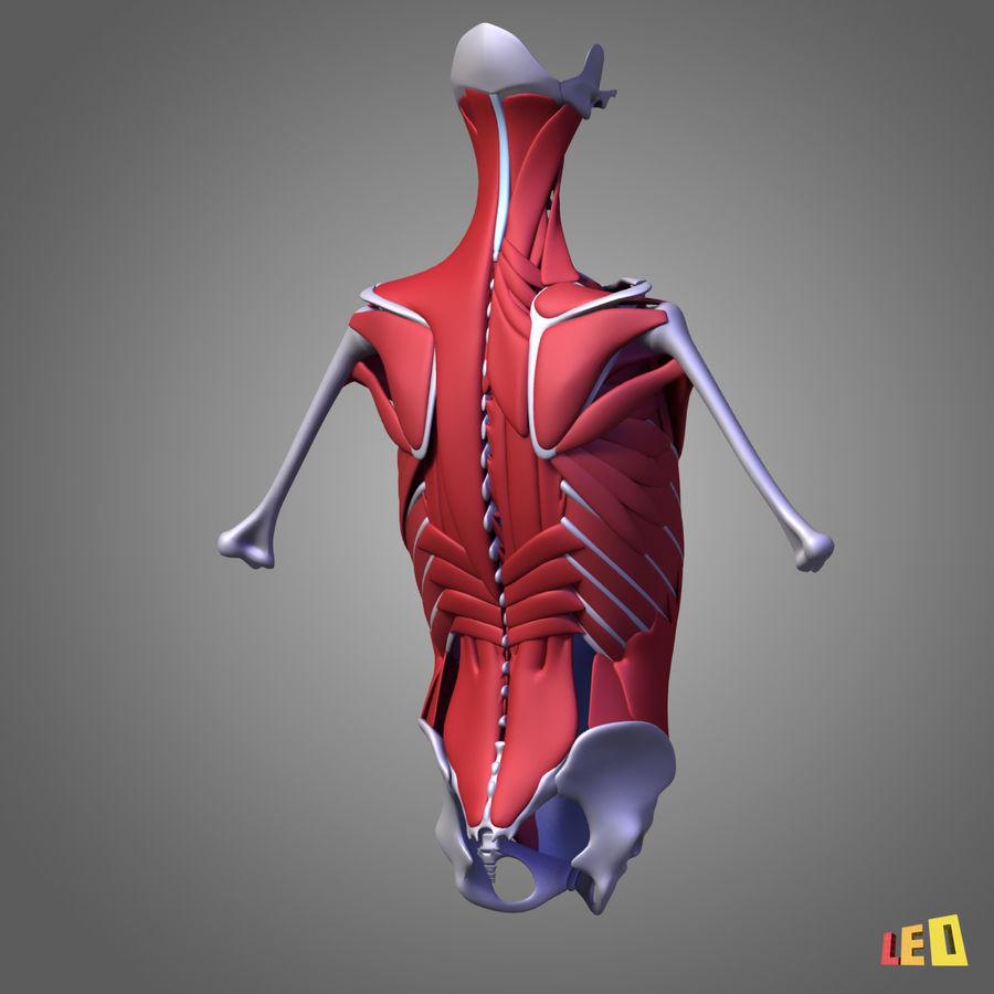 인체의 몸통 근육 royalty-free 3d model - Preview no. 7