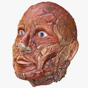 Menselijk hoofd spieren 3d model