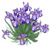 Iris germanica 3d model