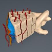 인간의 뼈 모델 3d model