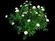 Gardenia flower 3d model