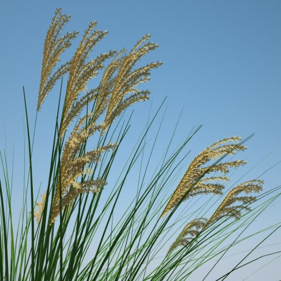 miscanthus sinensis royalty-free 3d model - Preview no. 1