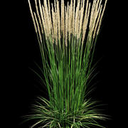 reedgrass Calamagrostis acutiflora 3d model