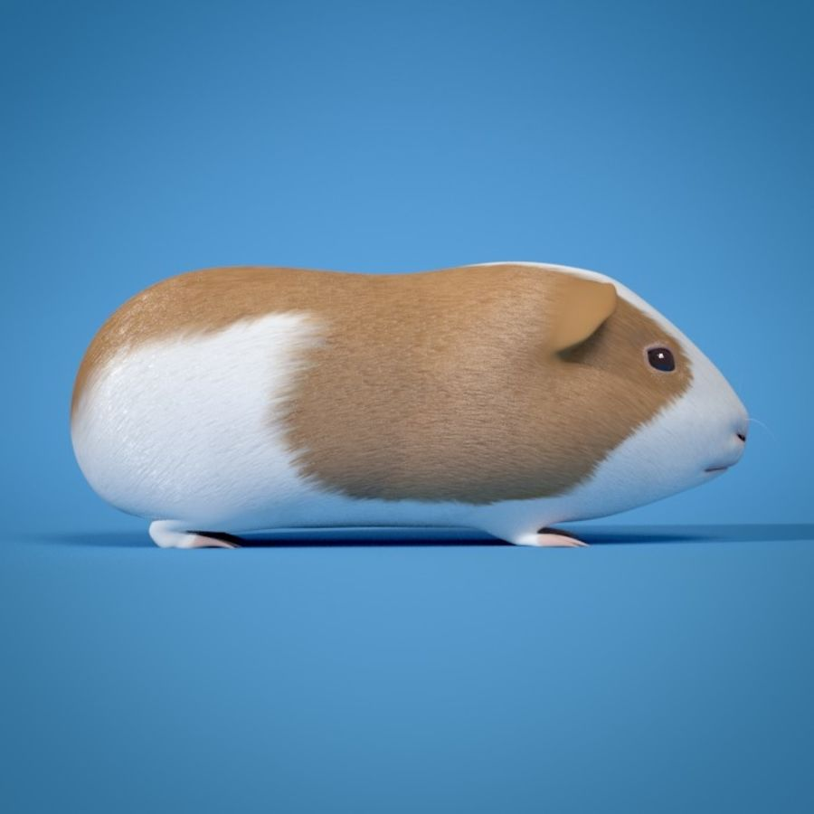 Guinea Pig royalty-free 3d model - Preview no. 3