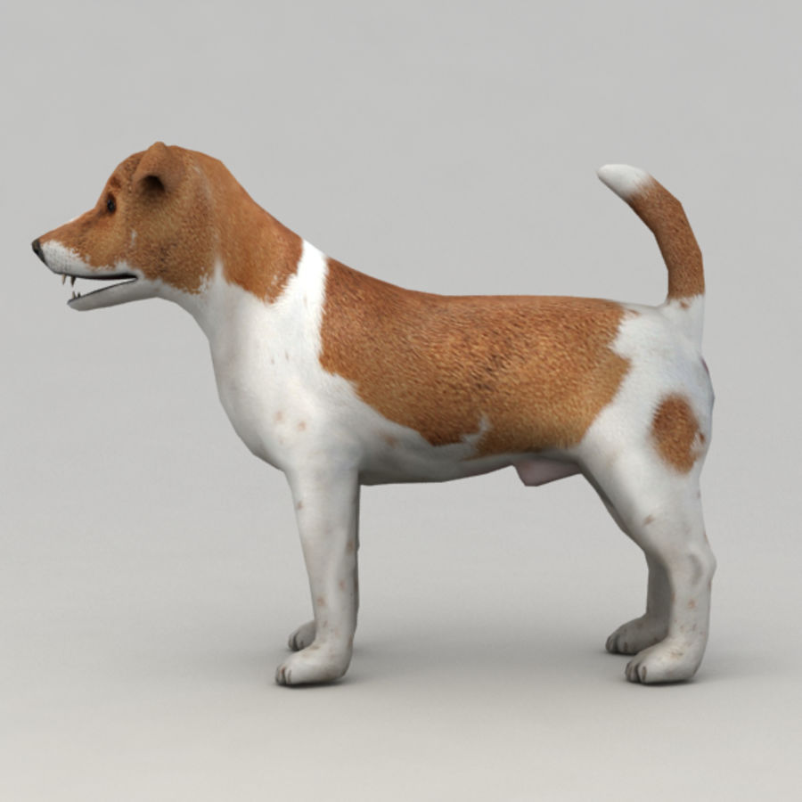 Jack Russell Terrier royalty-free 3d model - Preview no. 6