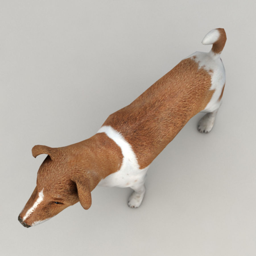 Jack Russell Terrier royalty-free 3d model - Preview no. 5