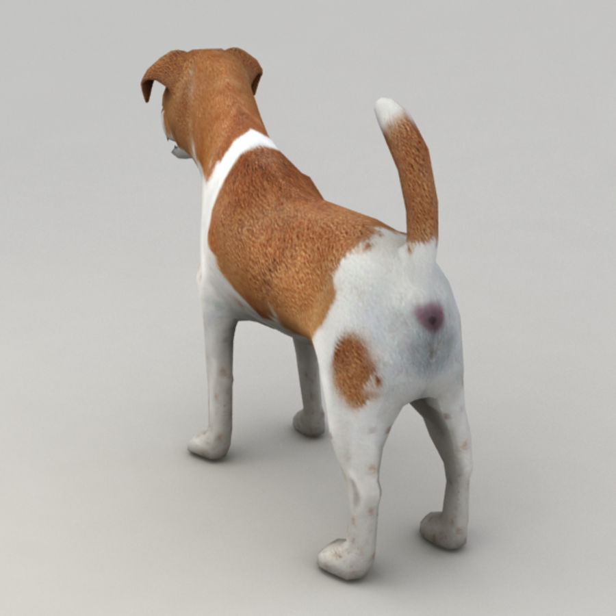 Jack Russell Terrier royalty-free 3d model - Preview no. 4