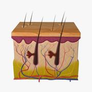 皮肤解剖学 3d model