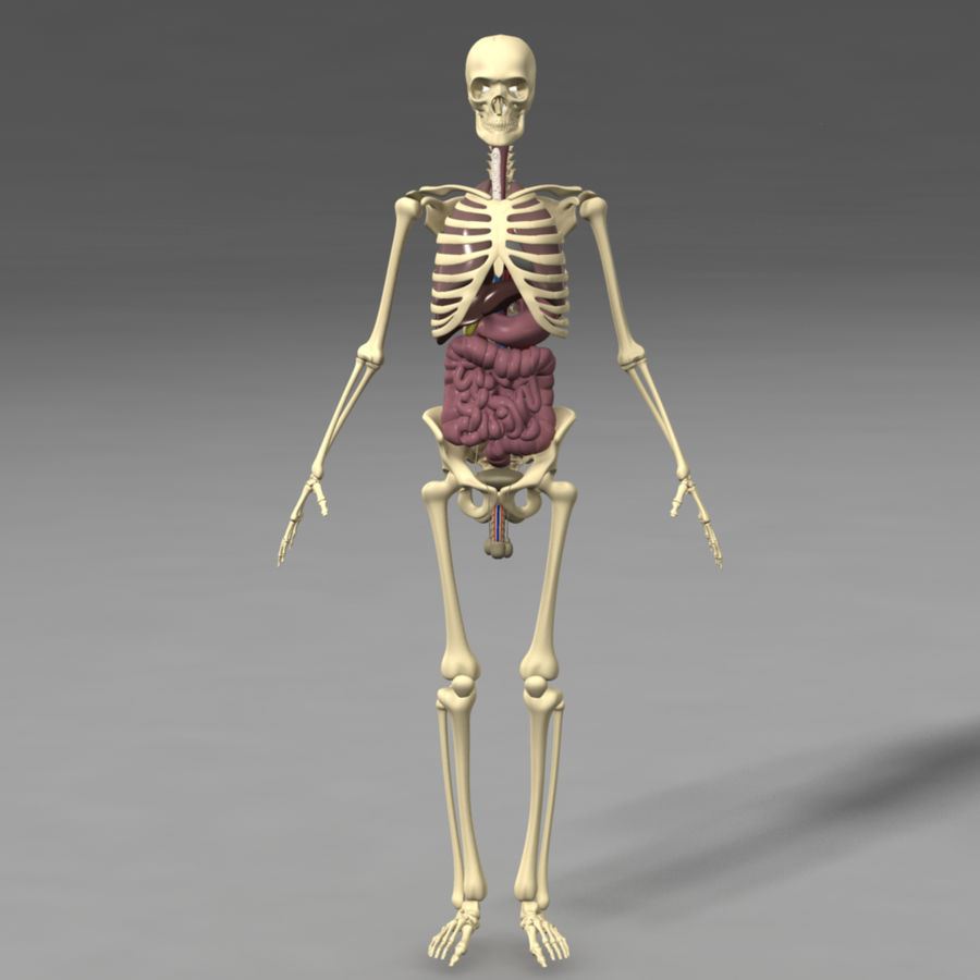 Skeleton And Internal Organs Sale Usually 200 3d Model 35