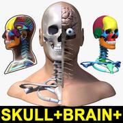 Manligt huvud + hjärna + skalle 3d model