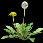 Taraxacum dandelion 3d model
