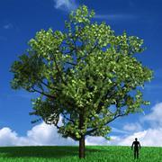 Drzewo Acer Negundo 3d model