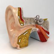 Anatomia dell'orecchio 3d model
