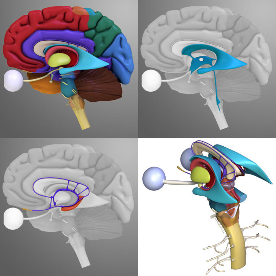 Anatomie complète de la tête masculine royalty-free 3d model - Preview no. 34