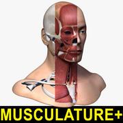Musculature de la tête + squelette 3d model