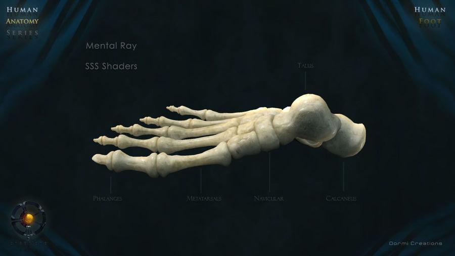 Foot bones royalty-free 3d model - Preview no. 5