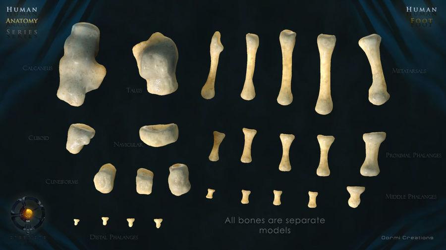 Foot bones royalty-free 3d model - Preview no. 7