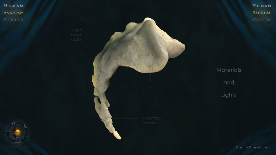 Sacrum and Coccyx royalty-free 3d model - Preview no. 4