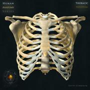 Szkielet klatki piersiowej 3d model