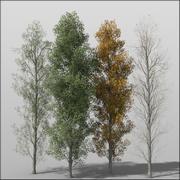 Adult Poplar 3d model