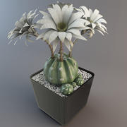 Echinopsis Eyriesii Cactus 3d model