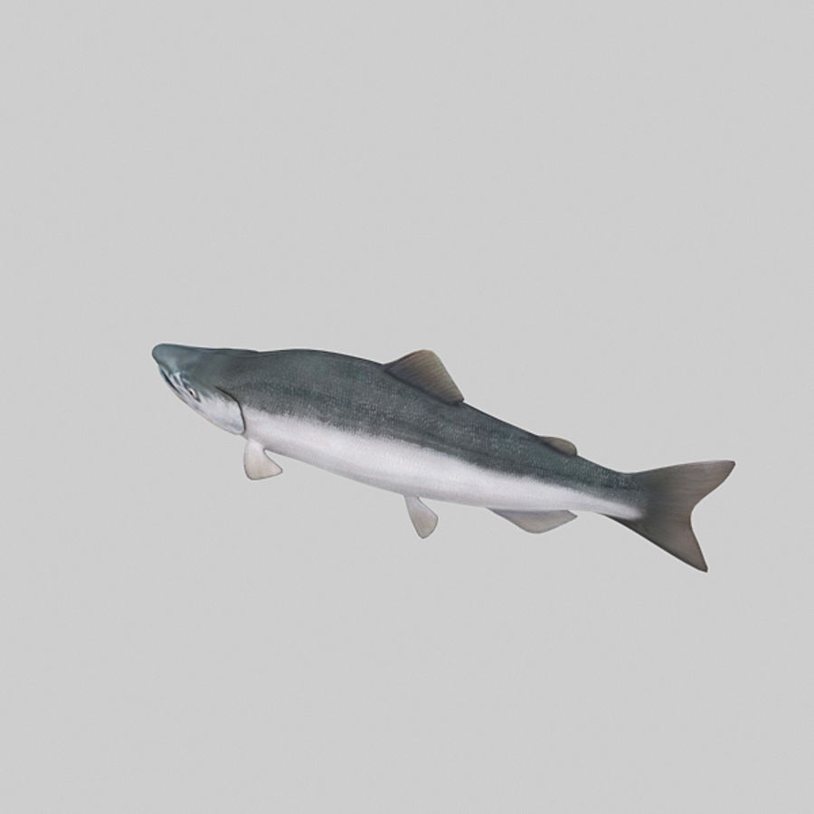 sockeye - zalm royalty-free 3d model - Preview no. 6