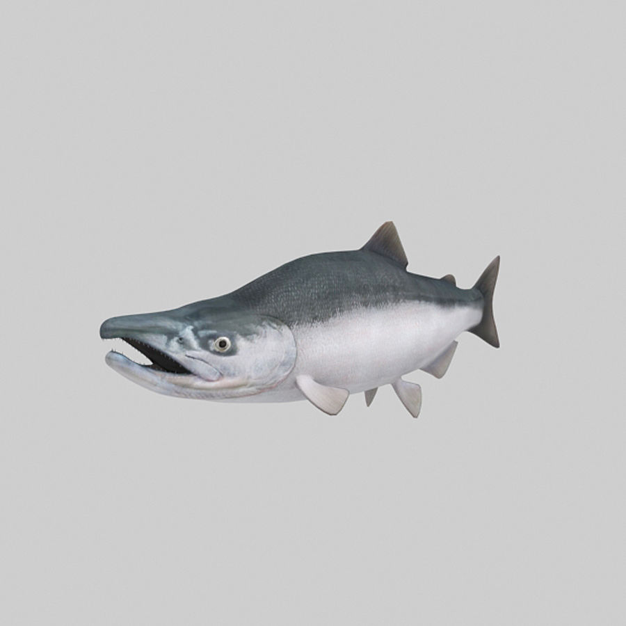 sockeye - zalm royalty-free 3d model - Preview no. 3