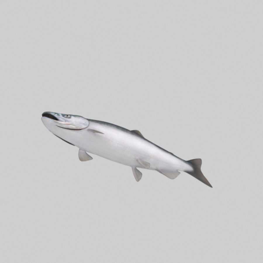 sockeye - zalm royalty-free 3d model - Preview no. 5