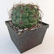 Gymnocalycium Riograndense 2 Cactus 3d model