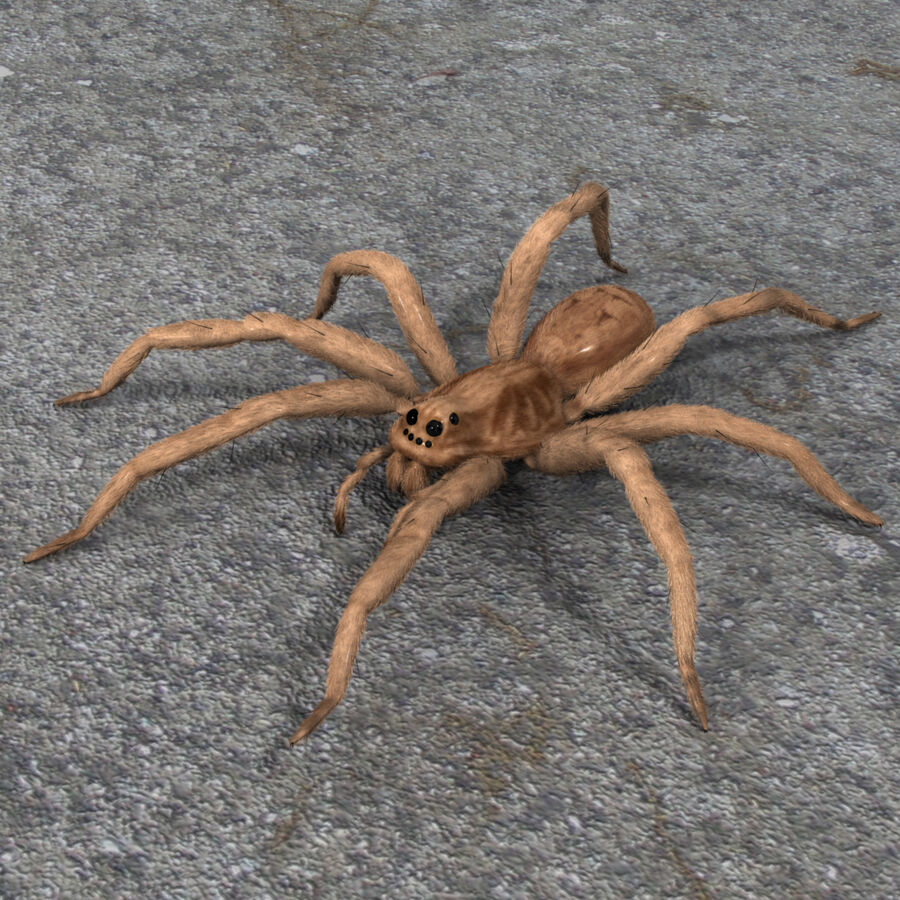 Lycosa Tarantula 'Wolf Spider' royalty-free 3d model - Preview no. 2