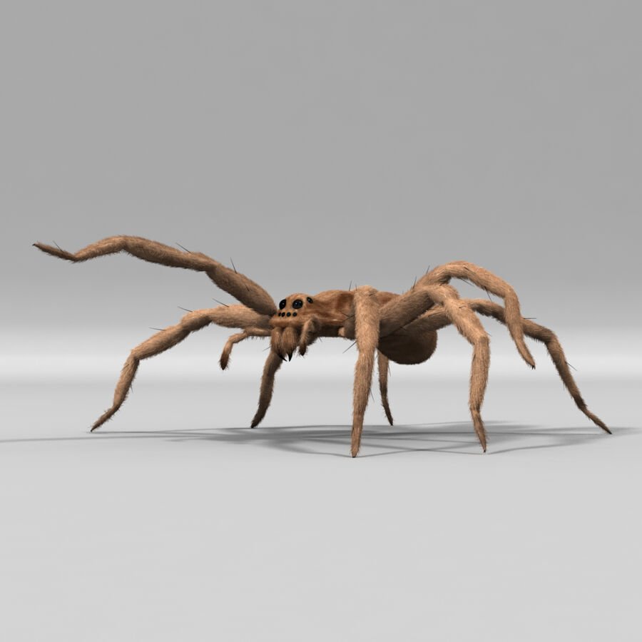 Lycosa Tarantula 'Wolf Spider' royalty-free 3d model - Preview no. 7