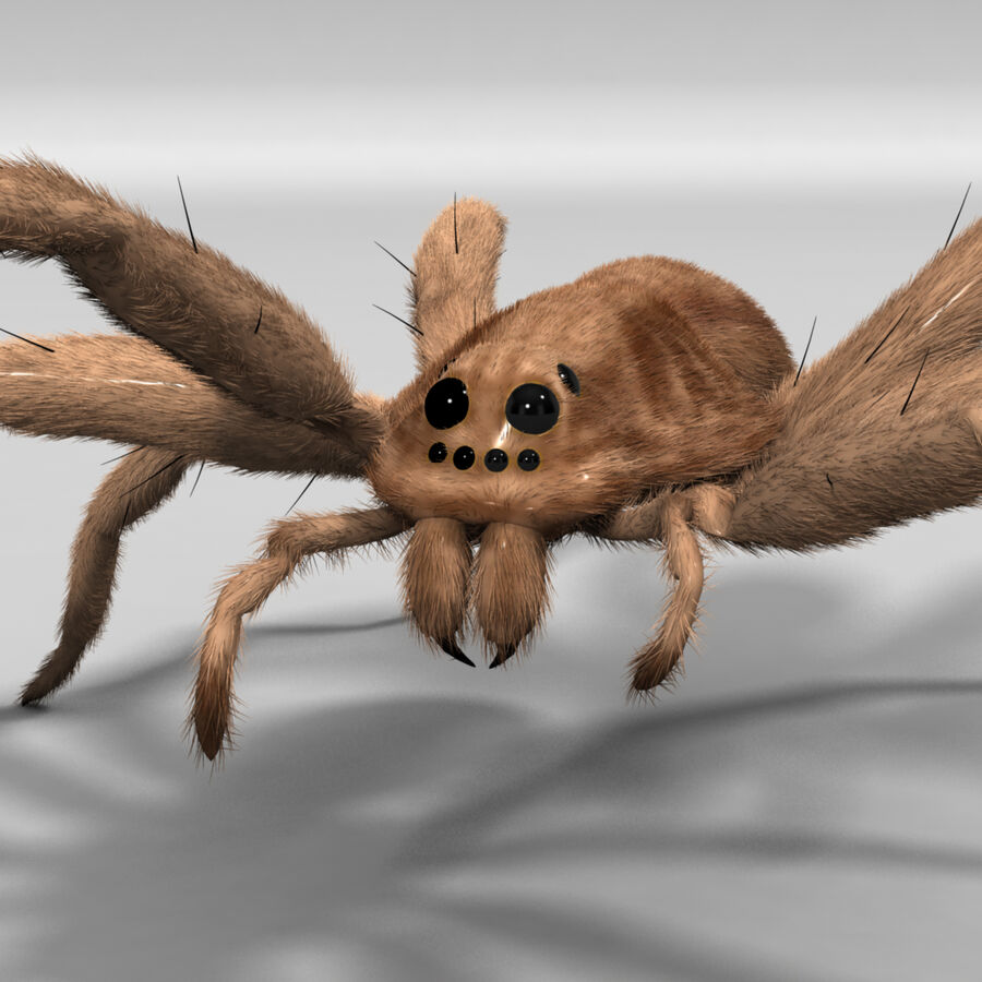 Lycosa Tarantula 'Wolf Spider' royalty-free 3d model - Preview no. 8