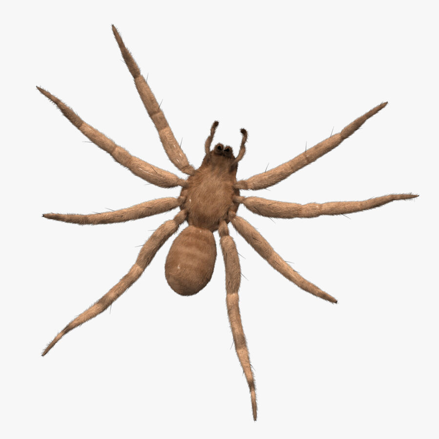 Lycosa Tarantula 'Wolf Spider' royalty-free 3d model - Preview no. 5