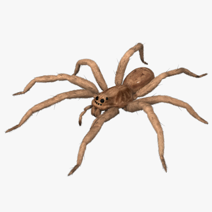Lycosa Tarantula 'Wolf Spider' royalty-free 3d model - Preview no. 1
