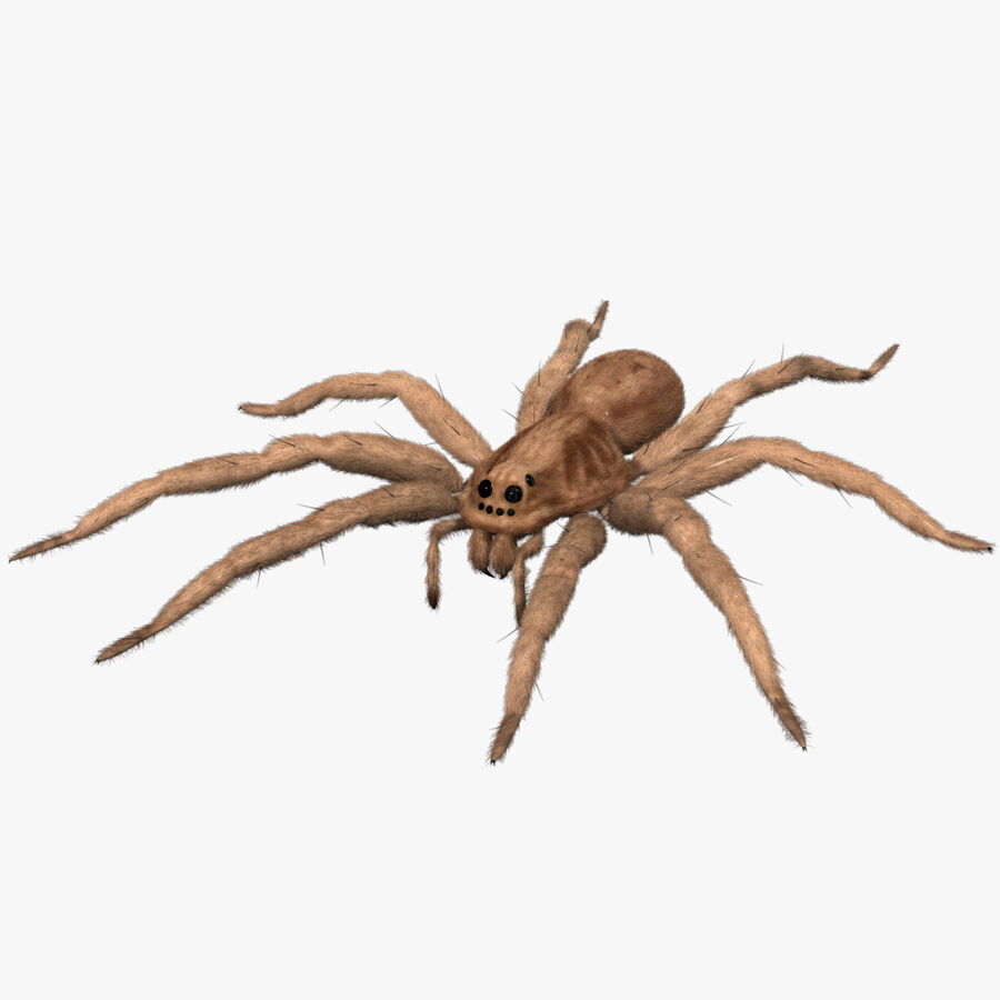 Lycosa Tarantula 'Wolf Spider' royalty-free 3d model - Preview no. 6
