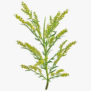 Goldenrod Plant 3d model