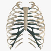 System żeber szkieletowych 3d model