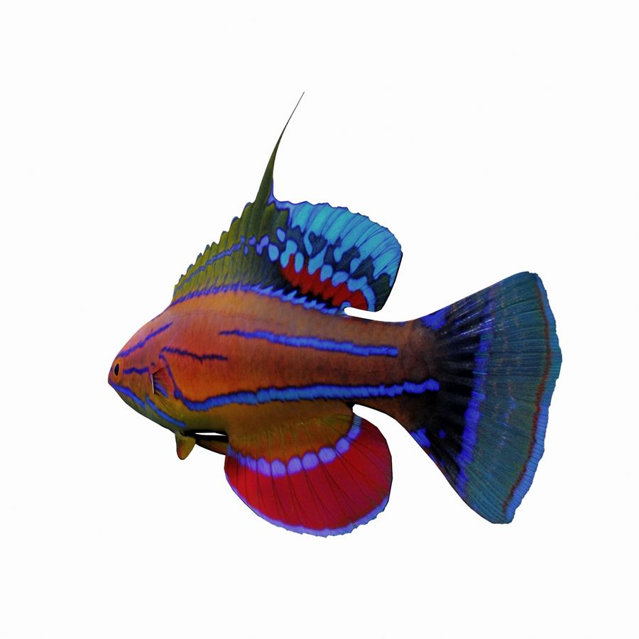 Flasher Wrasse(1) royalty-free 3d model - Preview no. 4