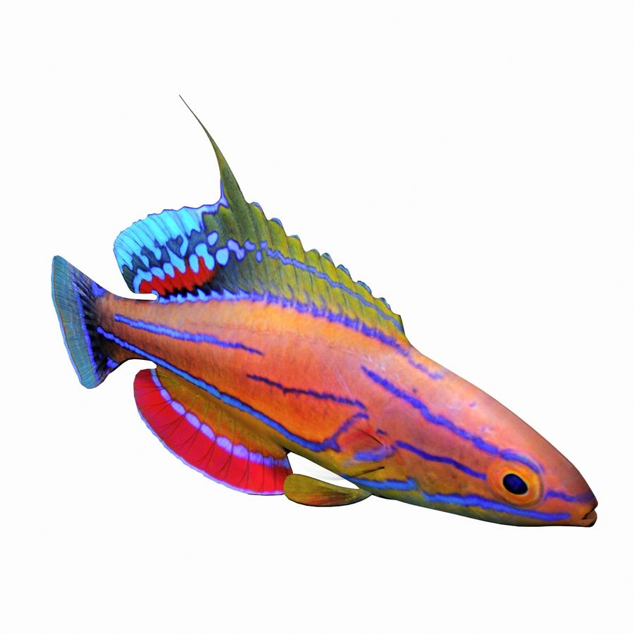 Flasher Wrasse(1) royalty-free 3d model - Preview no. 5