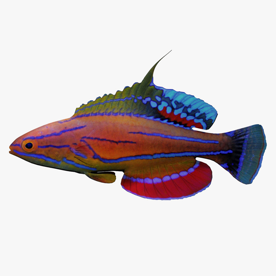 Flasher Wrasse(1) royalty-free 3d model - Preview no. 1