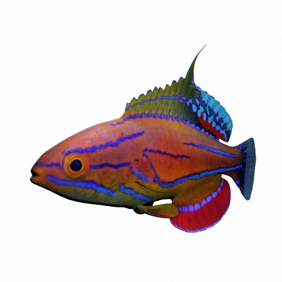 Flasher Wrasse(1) royalty-free 3d model - Preview no. 3