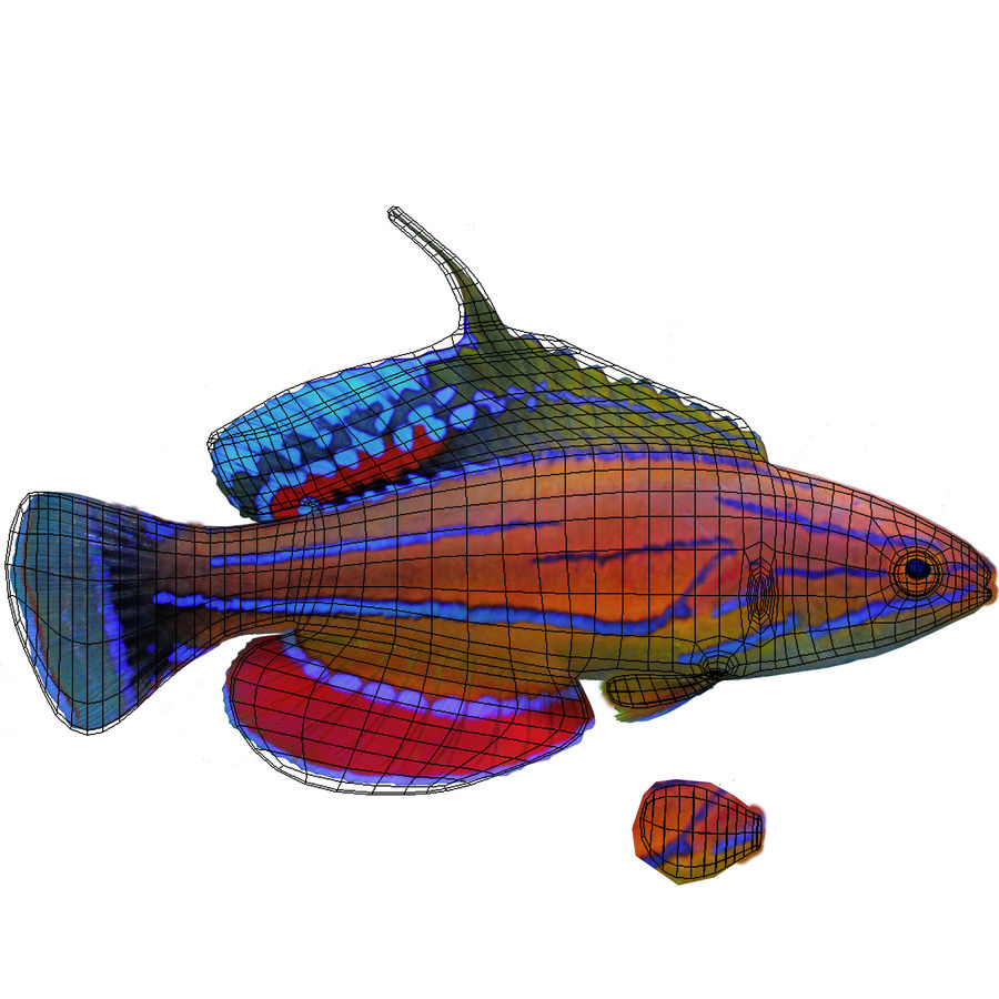 Flasher Wrasse(1) royalty-free 3d model - Preview no. 7