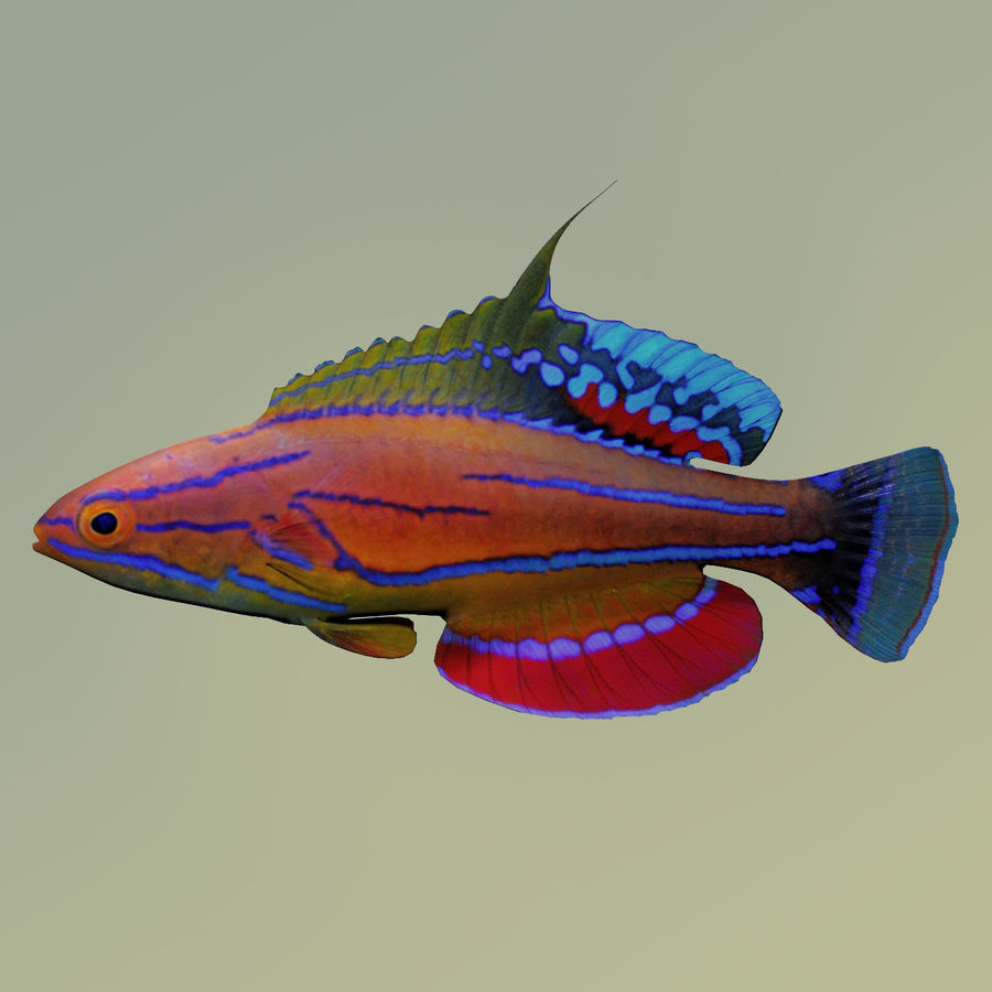Flasher Wrasse(1) royalty-free 3d model - Preview no. 2