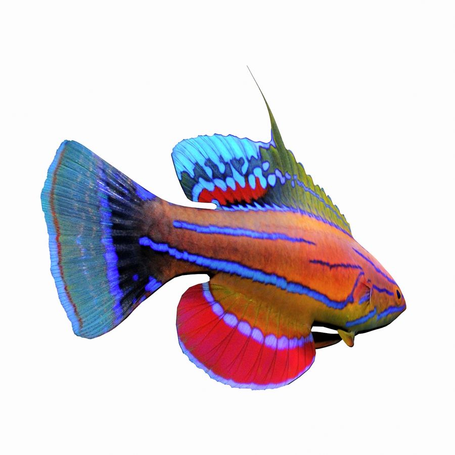 Flasher Wrasse(1) royalty-free 3d model - Preview no. 6