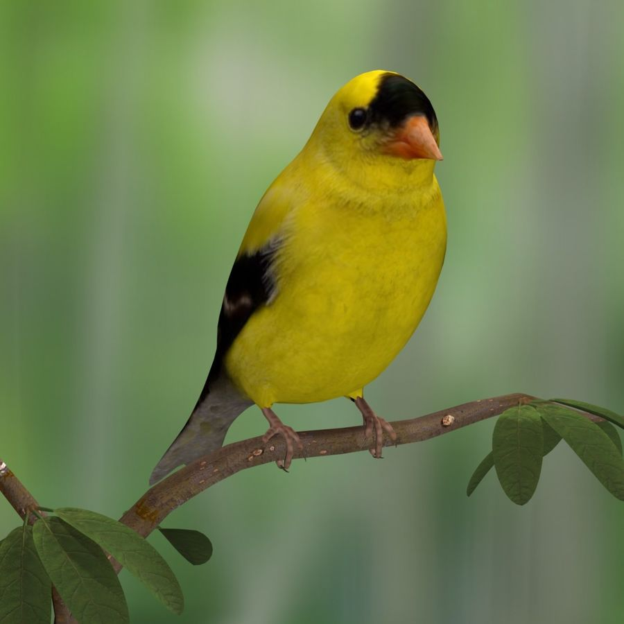 AB American Goldfinch royalty-free 3d model - Preview no. 3