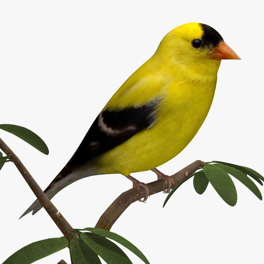 AB American Goldfinch royalty-free 3d model - Preview no. 1