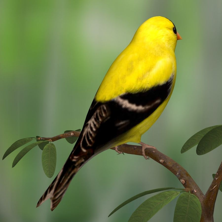 AB American Goldfinch royalty-free 3d model - Preview no. 4