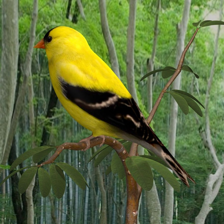AB American Goldfinch royalty-free 3d model - Preview no. 2