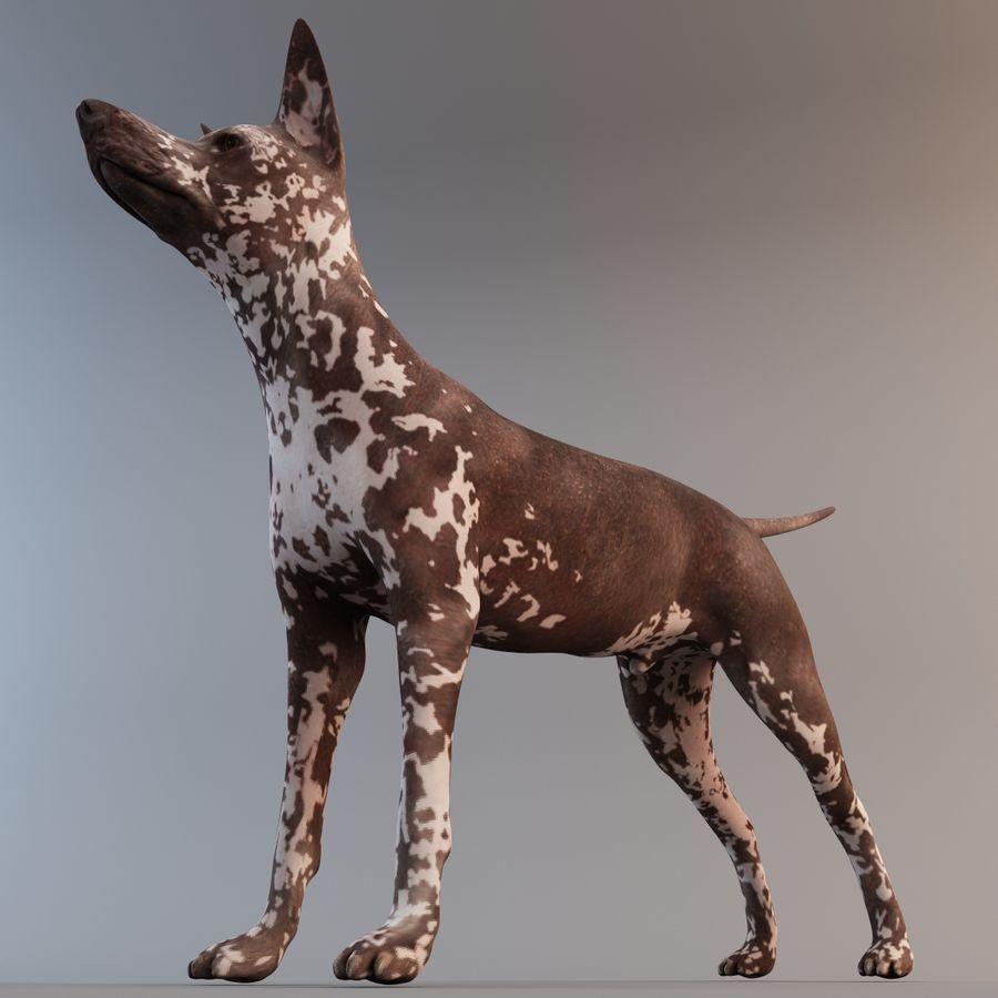 Meksikalı Tüysüz Köpek Xoloitzcuintli royalty-free 3d model - Preview no. 8