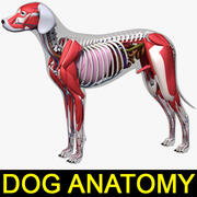 Dog Anatomy (Dalmata) _Color 3d model